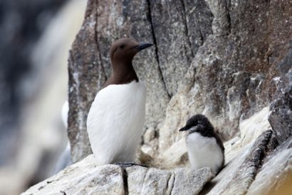 Guillemot with Chick, Isle of May, Scotland